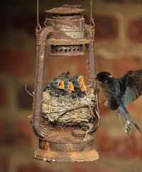 Nest with baby swallows...