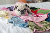 A pug and her clothes #pug #style #dogclothes