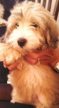 Meet Coton/Poodle Shad - Adopted 11/9/13, an adoptable Coton de Tulear looking for a forever home. If you're looking for a new pet to adopt or want information