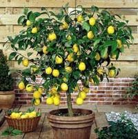 Dwarf lemon trees not only make attractive houseplants, they're functional, producing fragrant flowers and edible fruit. Glossy, green leaves are evergreen and