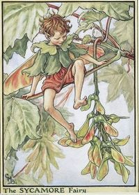 Illustration for the Sycamore Fairy from Flower Fairies of the Trees. A boy fairy sits on a sycamore branch pushing at a spray of winged seeds with his feet. 										  																										Author / Illustrator 								Cicely Mary Barker