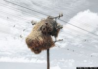 A South African photographer has captured a series of stunning photographs featuring the gargantuan nests of social weaver birds hanging from utility poles.