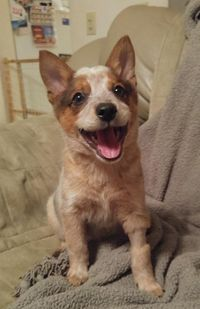 Mason is an adoptable Australian Cattle Dog / Blue Heeler searching for a forever family near Ledgewood, NJ. Use Petfinder to find adoptable pets in your area.