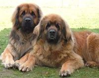 Leonberger dogs - the big tame bear under the house...