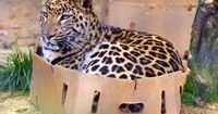 Big cats and little cats are all the same in the end. Cat + Box = Happy Cat. Now this is a big cat
