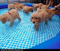 Puppy Pool Party �€� dog dogs puppy puppies cute doggy doggies adorable funny fun silly photography