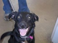 Sammie is an adoptable Border Collie Dog in Littleton, CO. Hi there my name is Sammie! I am a high energy girl looking for my new running partner! I have energy to spare so I am looking for an active ...