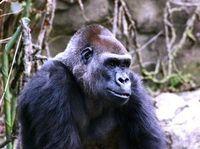 Preschool Lesson Plan: Gorillas