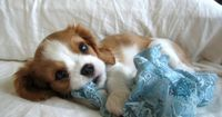 one of my favorite pups, King Charles Spaniel