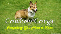 The Cowboy Corgi is one of my favorite dog breeds for a reason! They're adorable dogs that exude royalty, a popular breed because of their darling looks. Plus, the Queen of England loves them, owning the infamous Royal Corgis that the world ador...