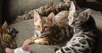 Bengal Cats - Pure Breed-from wiki-domestic developed to evoke leopards, ocelots, margays, clouded leopards, have large spots, rosesettes reminiscent of Asian leopard cat, orange, light brown, pale or off white, domestic cat temperment, but SHOULD BE 4 ge...