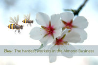 From December to March, when almond trees flower, turning the Central Valley into a pinkish white wonderland, growers truck in millions of bees to pollinate the blossoms.