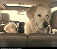 Thispostwas discovered by Amy Marie. Discover (and save!) your own Pins on Pinterest. | See more about golden retrievers, french fries and sons.