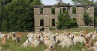 Golden Retriever Festival In Scotland is run by the Golden Retriever Club of Scotland and held at the ancestral home of the breed