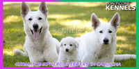 Click www.vonpiconekennels.com to reach the best German shepherd breeders in Carolina! Von Picone Kennels is the breeder that breeds German shepherds of Purebred. Apart from being a trusted breeder, it is an experienced training center for the German Shep...