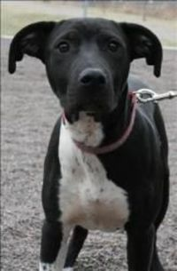 Pop is an adoptable Pit Bull Terrier Dog in Duluth, MN. AVAILABLE AT ANIMAL ALLIES DULUTH Pop is an active 4 month old pitbull terrier mix. This handsome boy wears a shiny black coat and has a brillia...