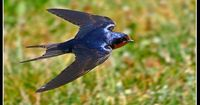 Hirundo rustica Barn Swallow They've been busy catching insects out over the pond today.