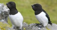 Little Auks just hanging out, being adorbs